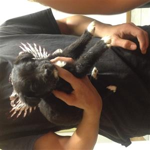 Bullmastif x Black Labrador Puppies