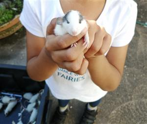 DUMBO RATS FOR SALE