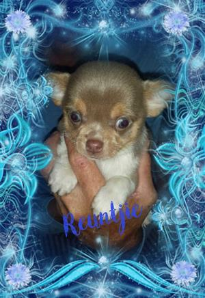Apple Chihuahua