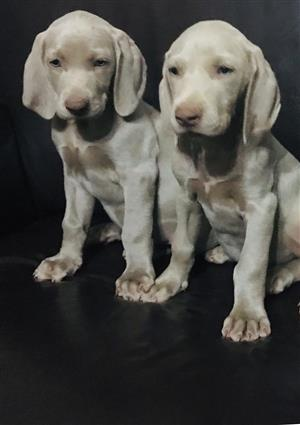 Waimeraner puppies for sale