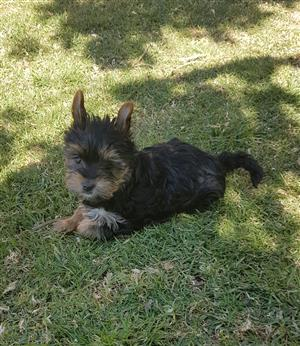 Cairn terrier and jack russell cross puppies | Junk Mail
