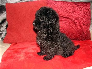 Toy Poodle Puppies Ready 4 Forever Homes