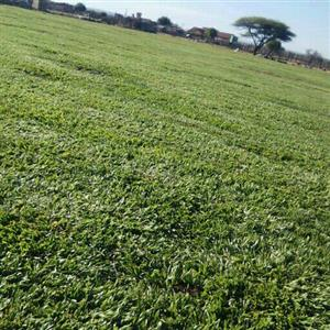 Need Some Fresh Instant Lawn? Call Paul 0617591082