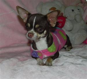 Adult young sterilised chihuahua female