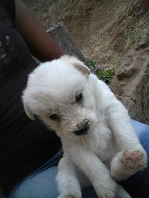 Toypom Cross Maltese puppies minature