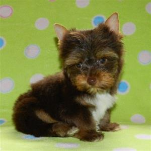 Chocolate Yorkshire Terrier male