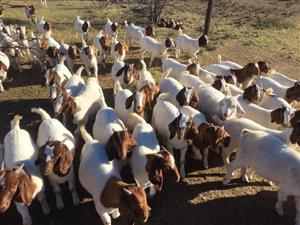 Goats & Sheep Available For Sale 1 Year Old