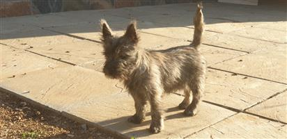 CAIRN TERRIER PEDIGREE