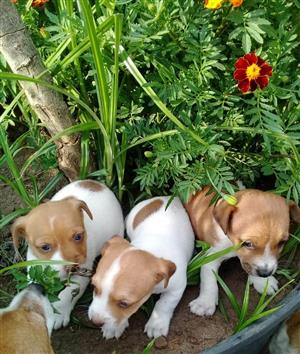 Most adorable Jack Russel Puppies
