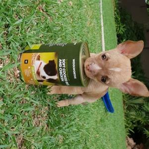 Chihuahua babas