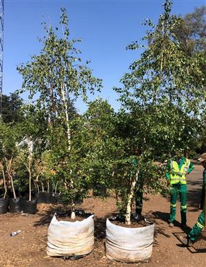 Silver birch tree specials 200L bags (Betula pendula)