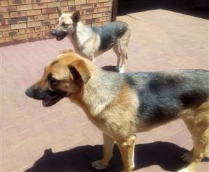 German Shepard Dogs for sale