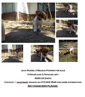 Jack Russel xBeagles FOR SALE