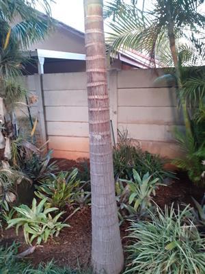 Seaforthia Palms for salew