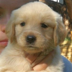 Golden Retriever Pedigreed Registered