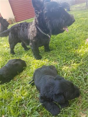 Pure Breed Pitch black Scottish terriers