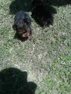 Teacup Yorkshire terrier  puppies.