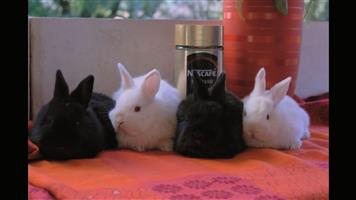 New Zealand White (Male & Female) & NZ Red female Rabbits - 11 weeks old and new 7 week old available.  Good quality Rabbits