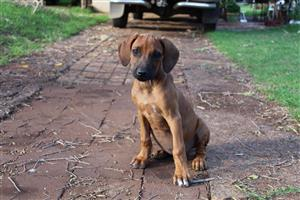 Rhodesian Ridgeback dogs for sale.