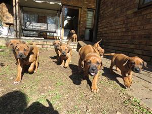 3 Rhodesian Ridgeback Puppies