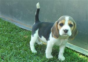 Beautiful Beagle male puppies for sale