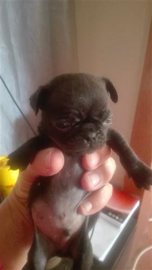 Swart pug