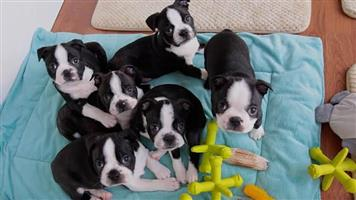 Boston Terriers with Goodies