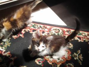 Beautiful Maine Coon cross kittens R1000