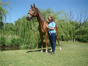 SENESA Show jumping mare