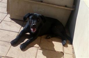Border Collie X Labrador puppy