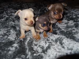 Pedegree Chihuahua Puppies