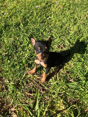 Miniature Doberman Pinscher puppies (Bokkie hond)