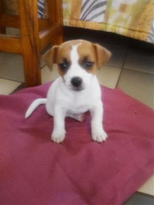 Purebred Jack Russel terrier