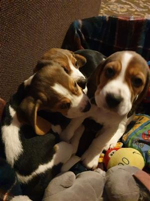 Cute Beagle Puppies looking for new homes