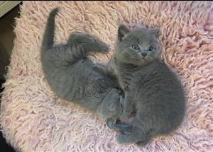very beautiful british shorthair kittens