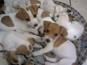 Jack Russell 8 weeks pure breed short leg puppies
