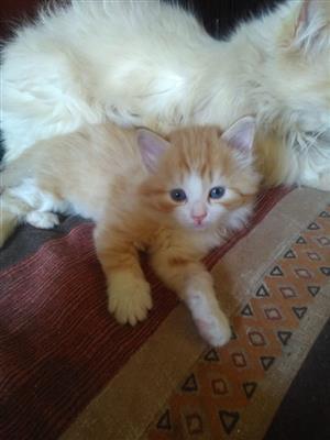 Persian Ragdoll kittens