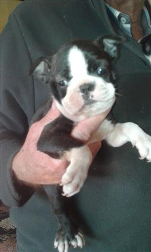 1 x Male Boston Terrier Puppy