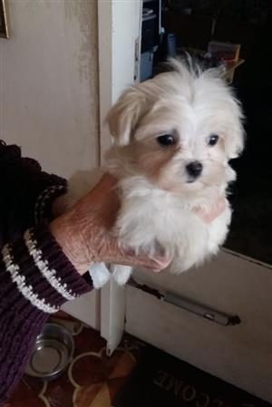Miniature Maltese Puppy