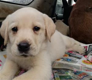 Labrador.pups born 6 of December's. 8weeks old. Have been innoculated. Is so cute!