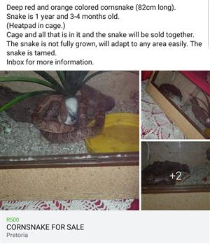 Cornsnake for sale plus cage with heatpad and accessories