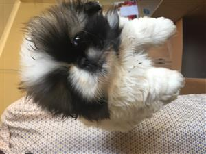 Pekingese female