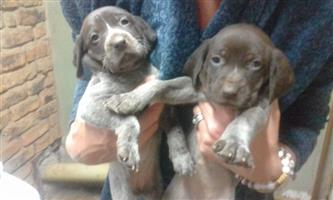 GSPlease puppies