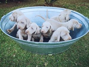 Weimeraner Puppies