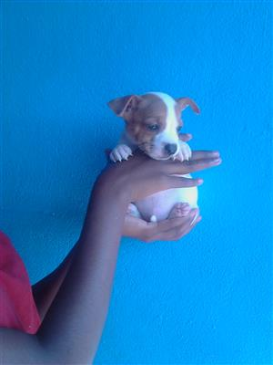 purebred miniature jack Russell male puppy
