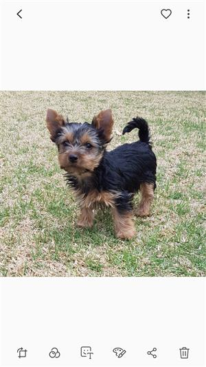 Pedigree puppies Miniature size Yorkies