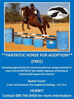 Super Thoroughbred Gelding available for adoption AT Countryside Equestrian Centre