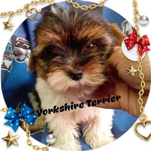Yorkie pocket size pups