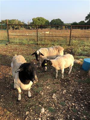 Healthy Dorper Sheep for sale