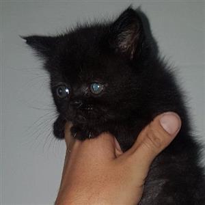 Beautiful Fluffy Main Coon cross Persian kittens